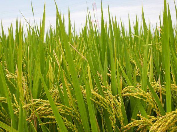お米を知ろう125